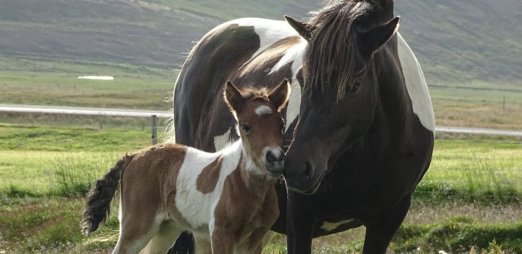 Protect the Icelandic Horse